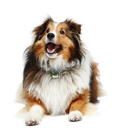 Тест Собакой какой породы ты могла бы быть
