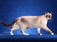 http://trikky.ru/files/2009/11/cat-snowshoe.jpg