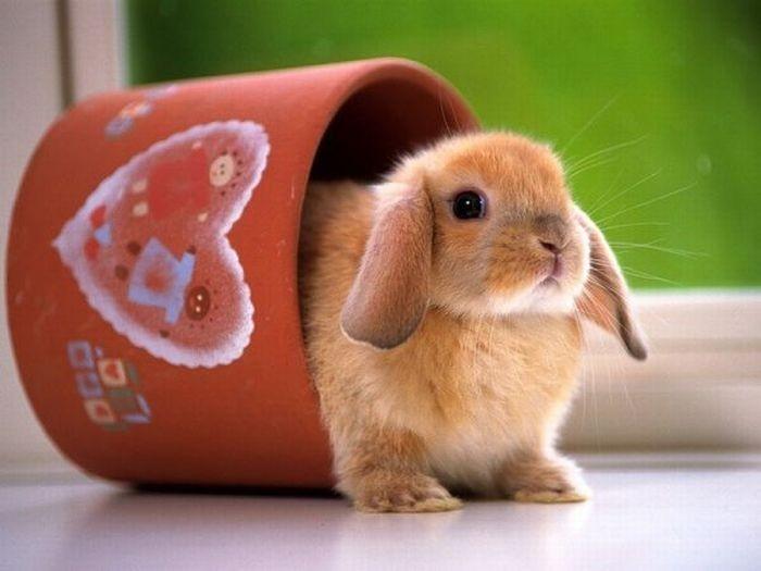 Картинка для Как хорошо ты знаешь породы кроликов?