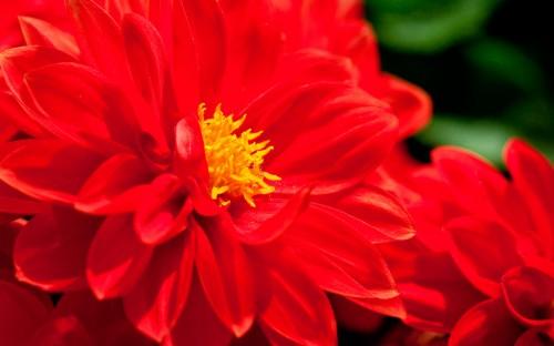 красный-цветок-фото