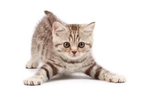 Тест какая порода котов тебе подходит