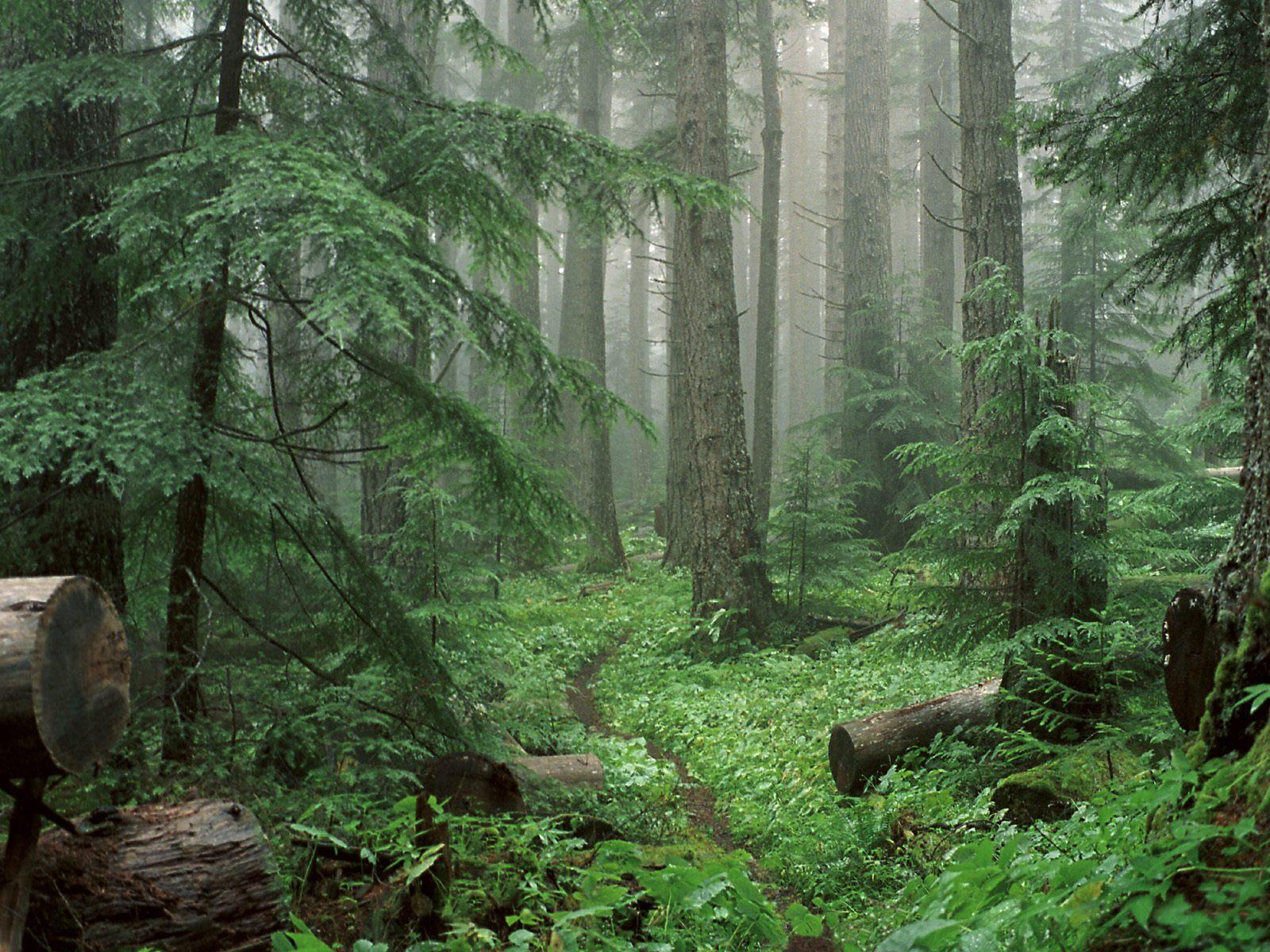 Вечно дикий лес картинка