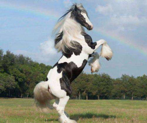 самые-красивые-породы-лошадей-22