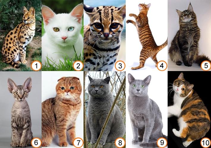 все кошачьи список с картинками условиях орла