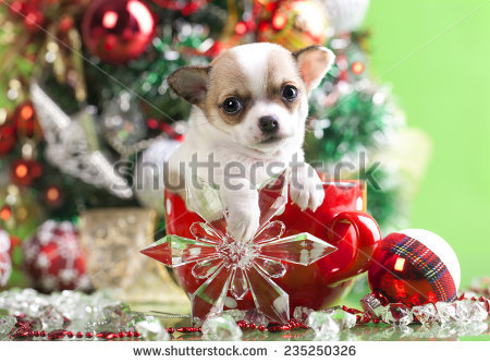 stock-photo-puppy-christmas-chihuahua-in-cup-235250326