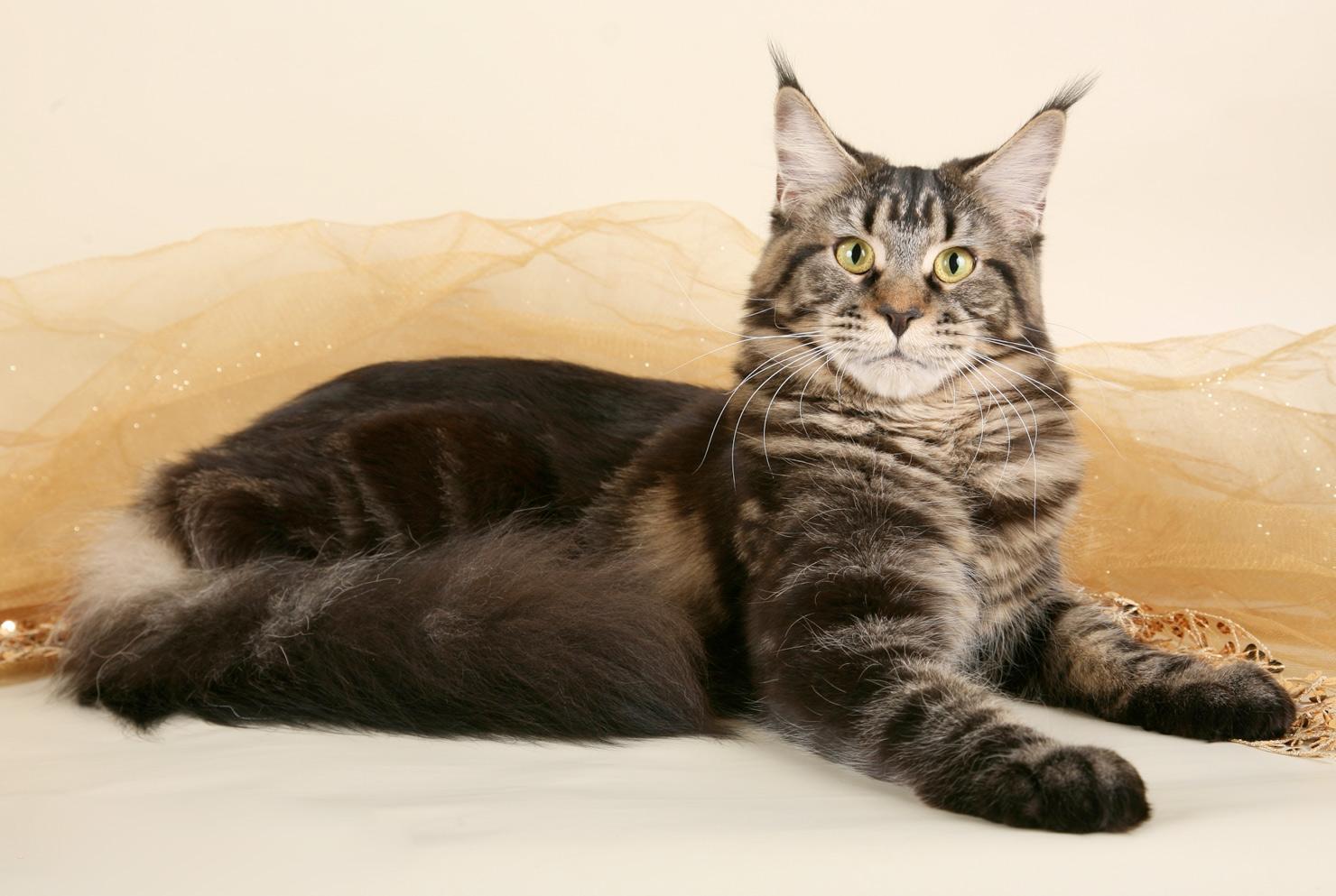 мейкун кошка фото вес же, под списком
