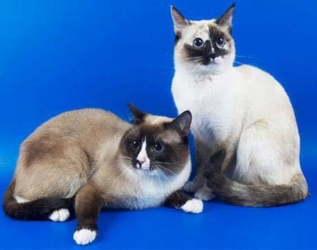 Картинка для Топ 10 самых красивых пород кошек