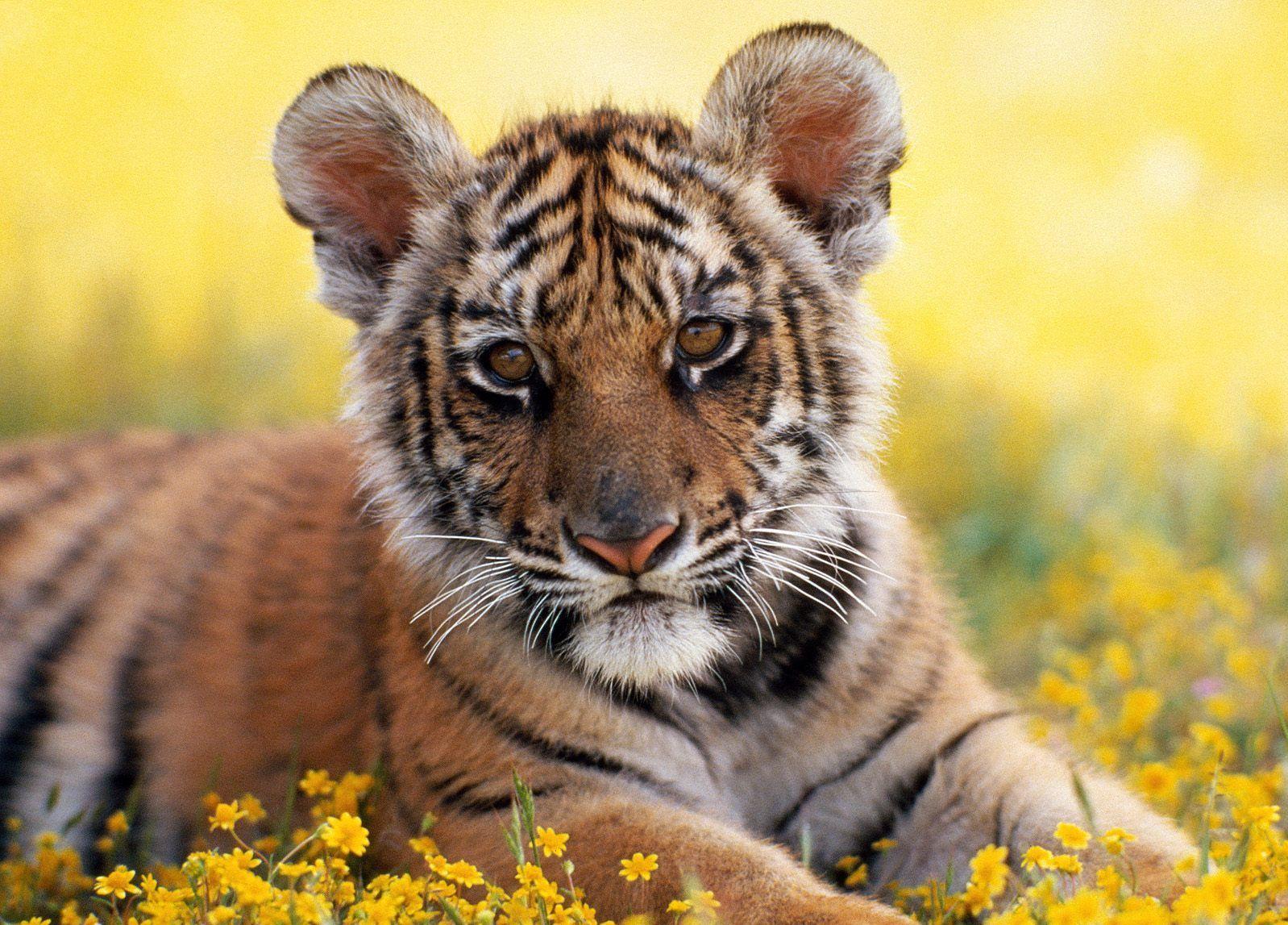 мужчина красивые картинки маленьких тигрят знаменитой