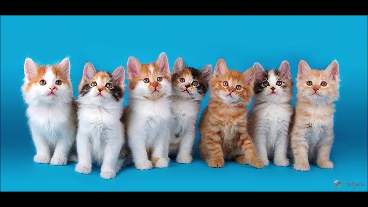 Картинка для 🐱Какая ты порода кошек?🐱