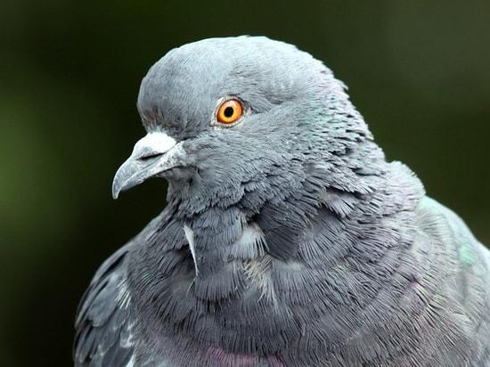 Картинка для Найди голубя 2.0