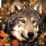 Рисунок профиля (Волчонок Смерти)