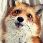 Рисунок профиля (Лисо-волк!☆♡)