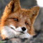 Рисунок профиля (fox47754)