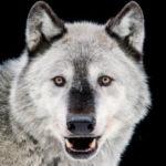 Рисунок профиля (Wild_wolf)