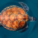 Рисунок профиля (Морская Черепаха)